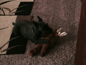 This is kind of dark, but I owe Chalet an apology for calling her a Scottie/Schnauzer instead of a Scottie /Westie. She is playing with her comfort moose here.