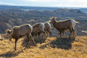 1-BighornSheepGroup_DudleyEdmondson_NPS