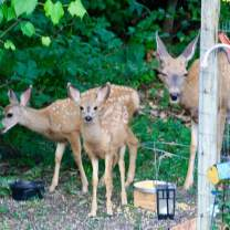 Fawns eating