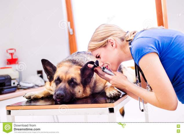 veterinarian-examining-german-shepherd-dog-sore-ear-young-blond-woman-working-veterinary-clinic-73873542