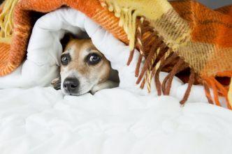 dog-hiding-under-blankets.jpg.653x0_q80_crop-smart